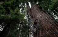 L'uomo delle sequoie