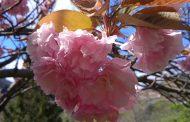 Rosa Sakura