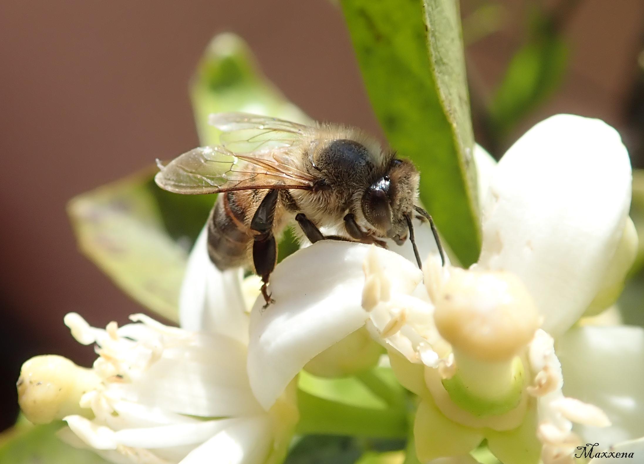 Anche le api nel loro piccolo si inc...........!